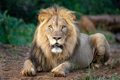 Lions of Lapalala: The New King - Tintswalo Lapalala Lions, Lightning, Africa, Animals, Animales, Lion, Animaux, Lightning Storms, Animais