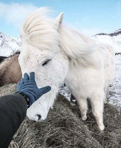 Image result for beautiful pics of fluffy horses