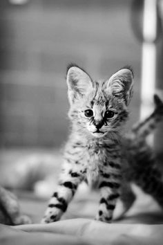 It is a savannah cat -- a mix with a house cat and a wild cat!! I want one soooo bad!! They are gorgeous!!