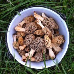 1000 images about morels on pinterest mushrooms for Morel mushroom recipes food network