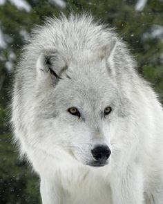 STOP KILLING WOLVES ! White Wolf, Gray Wolf, Einsamer Wolf, Wolf Love, Lone Wolf, Wild Dogs, Animals Beautiful, Beautiful Wolves, Beautiful Creatures