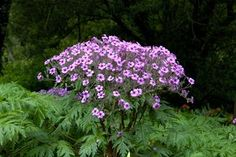 Geranium maderense – The Lost World Nursery, not quite an umbel but has an umberalla structure Flowers Perennials, Planting Flowers, Geranium Vivace, Zoo Photos, The Lost World, Language Of Flowers, Plant Nursery, Types Of Plants, Houseplants