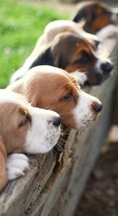 """Exceptional """"beagle pups"""" detail is offered on our web pages. Check it out and you will not be sorry you did. Baby Beagle, Beagle Puppy, Animals And Pets, Baby Animals, Cute Animals, Cute Beagles, Bulldog Breeds, Cute Dogs And Puppies, Doggies"""