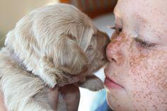 Hypoallergenic Dogs - http://www.rainpuddleslabradoodles.com/hypoallergenic-dogs/