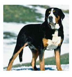 Perro de Montaña Gran Suizo
