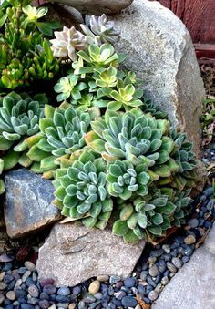 Succulents among roc