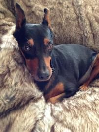 Petango.com – Meet Dutchess, a 6 years 9 months Miniature Pinscher available for adoption in COLORADO SPRINGS, CO