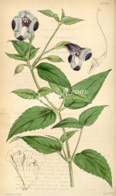 4249-torenia asiatica, Large-flowered Torenia      ...