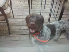 Sam is adorable and ready for a new home that is active with a high fence!