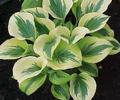 Liberty Hosta - second year potted - $6.00 : Countryboy Gardens, Discount Hostas