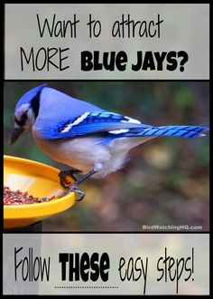 Start attracting Blue Jays today by implementing these four simple strategies. *You will learn the best feeders, foods, and trees that attract Blue jays* Blue Jay Bird, Blue Bird House, Owl House, Backyard Birds, Garden Birds, Hummingbird Garden, Garden Art, Diy Bird Feeder, How To Attract Birds