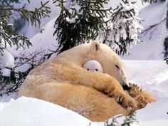 POLAR BEAR & pine trees. How cute.........Wait, Polar bears live in the Antarctic where there are barley if ANY trees! This pics a JOKE!!!!