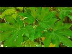 Fatsia Japonica plants must be cared for in a very specific way. Care for Fatsia Japonica with help from a landscape designer and horticulture writer in this...