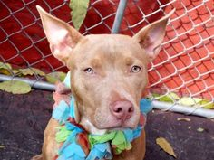 SAFE --- Manhattan Center   CHARM - A1019240  FEMALE, TAN, PIT BULL MIX, 1 yr, 6 mos STRAY - STRAY WAIT, NO HOLD Reason STRAY  Intake condition EXAM REQ Intake Date 10/30/2014, From NY 11693, DueOut Date 11/02/2014,   https://www.facebook.com/photo.php?fbid=898475443498669