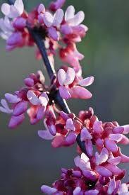 Botanical Name: Cercis canadensis  Common Name: Redbud