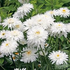 "leucanthemum x superbum 'Snow Drift', Sun to Part shade, 24-26"" H, 18-24"" W, Early summer to early fall. Prone to aphids"
