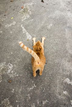 Cat stretching out! I Love Cats, Crazy Cats, Cool Cats, Funny Cats, Funny Animals, Cute Animals, Cat Stretching, Photo Chat, Red Cat