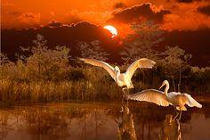 Everglades Ballet Photograph by Susan Schermer...