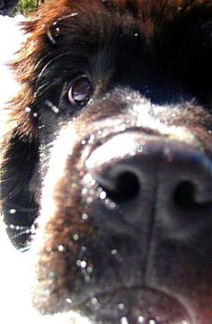 newfies | Newfies: my boy boomer | *Newfies*