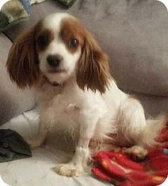 Fairview Heights, IL - Cavalier King Charles Spaniel. Meet Aurora, a dog for adoption. http://www.adoptapet.com/pet/12359407-fairview-heights-illinois-cavalier-king-charles-spaniel