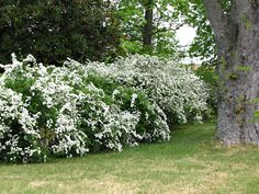 Plant spirea in early fall or early spring in a sunny to partial shade location. Bridal wreath spirea has the potential to grow 10 feet tall and wide if not pruned, making it a great choice as a privacy fence. To create a privacy fence, set plant about 8 feet apart.