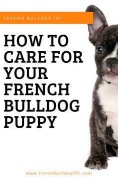 """Known for their friendly personalities, perky ears, and adorable short faces, French Bulldogs are one of the most popular dog breeds in the country. French Bulldogs, affectionately known as """"Frenchies,"""" cherish their bonds with their humans - making them a fantastic option for your family's faithful pet. #puppies #frenchbulldogs #dog #pets #dogowners French Bulldog Facts, French Bulldog Puppies, French Bulldogs, Pet Dogs, Dog Cat, Pets, Most Popular Dog Breeds, Love Your Pet, Mans Best Friend"""