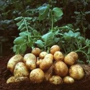 Potatoes In The Backyard Garden : Growing Potatoes In Your Vegetable Garden Planting Potatoes, Planting Vegetables, Fruits And Vegetables, Vegetable Garden, Grow Potatoes, Fried Potatoes, Garden Plants, Potato Plant Images, Potato Barrel