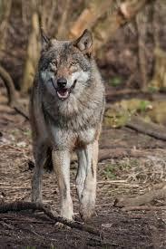 Afbeeldingsresultaat voor wilde dieren wolven