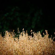 Jeg er havren... Havremark ved Brylle #visitfyn #fyn #nature #nature_perfection #naturelovers #nofilter #natur #denmark #danmark #dänemark #landscape #assensnatur #assens #mitassens #vildmedfyn #fynerfin #vielskernaturen #visitassens #instapic #august #sommer #cereal #oat