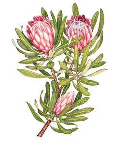 Proteas by Heidi Siebrits Kriel Protea Art, Protea Flower, Botanical Flowers, Botanical Prints, Australian Native Flowers, Plant Drawing, Plant Illustration, Botanical Drawings, Whimsical Art