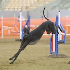 NEVER SAY NEVER GREYHOUNDS...Maddie