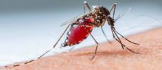 Aedes aegypti, the yellow fever mosquito, is a mosquito that can spread dengue fever, chikungunya, Zika fever, and yellow fever viruses, and other diseases.  #Animal #Aedes #zika #Mosquito #Virus Follow this Collection hope you will love those posts.