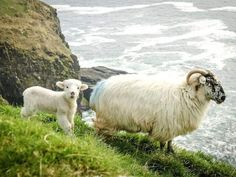 Most Beautiful, Beautiful Places, Sheep And Lamb, Sheep Farm, Baby Sheep, Baby Lamb, England, Emerald Isle, Emerald Green