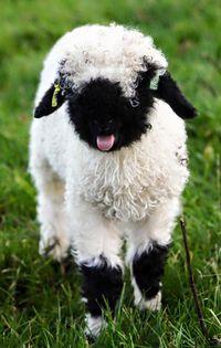 Valais Blacknose Lamb...that tongue!! So cute!