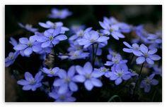 Small Blue Flowers wallpaper