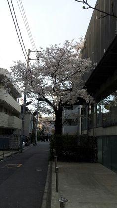 cherry blossom.last year.
