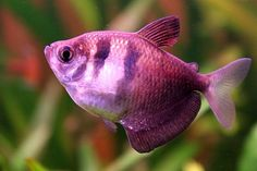 Freshwater Fish in addition Discus moreover PlainGobyCichlid together with Watch also NkhomoBengaPeacock. on oscar cichlid diseases