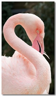 It seems as if flamingos are a forgotten bird. So beautiful. Pretty Birds, Love Birds, Beautiful Birds, Animals Beautiful, Pretty In Pink, Cute Animals, Perfect Pink, Wild Animals, Baby Animals