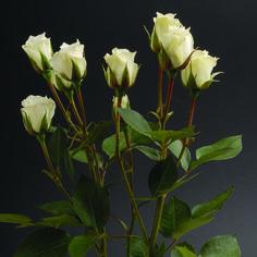 Viviane #RosesColombia #RedilRoses #ColombianFlowers #Roses #BlomFlores #Regalos