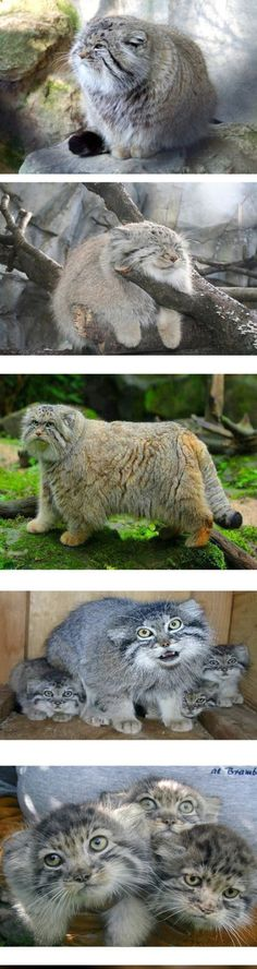 Funny pictures about Meet The Pallas Cat. Oh, and cool pics about Meet The Pallas Cat. Also, Meet The Pallas Cat photos. Crazy Cats, Big Cats, Cool Cats, Beautiful Cats, Animals Beautiful, Kittens Cutest, Cats And Kittens, Felis Manul, Animals And Pets
