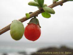 LLAULLÍN (Lycium chilensis) Distribución: Argentina y Chile. En Mendoza, en casi toda la provincia. (Mariam Acchura)