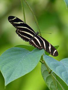 Zebra (heliconius charitonius)