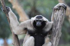 zwartkoplar De Zwartkoplar  behoort tot de superfamilie van de mensapen uit de familie van de gibbons. De dieren leven in tropische bossen in het oosten van Thailand, het westen van Cambodja en het zuidwesten van Laos. Wikipedia  // Pileated gibbon