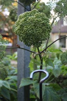 Grote engelwortel- Angelica archangelica . Deze plant is geschikt voor de ondersteuning door de   Solitairpin van www.detuinfee.nl. Verkrijgbaar in 4 hoogtes.