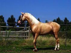 Paarden te koop: Camaron