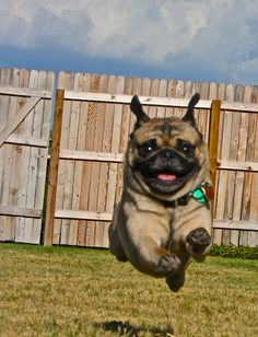 Its a bird, its a plane!  No!  Its SUPER PUG!