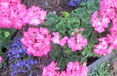 You can overwinter geraniums by shaking the soil off the roots and storing them in your basement, but you can also bring the potted geraniums inside and put them in a sunny window. Container Gardening, Gardening Tips, Potted Geraniums, Garden Stairs, Gardening Magazines, Potting Soil, Autumn Garden, Backyard Ideas, House Plants