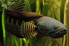 Orange-Spotted Snakehead Scientific Name: Channa aurantimaculata  Water Type: Freshwater pH Range: 6-7.5 Water Temperature Range (°C | °F): 22-28 C | 72-82 F Geographic Origin: (Region, Continent)Assam, India  Family: Channidae  Max Length (cm): 40 Temperament: Aggressive  Feeding Methods: Predator Diet: Carnivore  http://www.aquariumv.com/index.php/component/flexicontent/23-fish/798-orange-spotted-snakehead