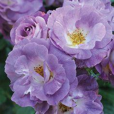 Rose 'Blue for You' (Floribunda Rose)Rosa Rose 'Blue for You' (Floribunda Rose) - Shrubs & Roses - Thompson & Morgan Beautiful Roses, Colorful Flowers, Purple Flowers, Red Roses, Beautiful Flowers, Rose Flowers, Bed Of Roses, Rose Bush, Garden Art