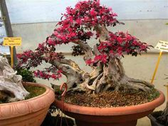 loropetalum bonsai - Google Search